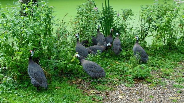 HD wallpaper with guineafowls near the water