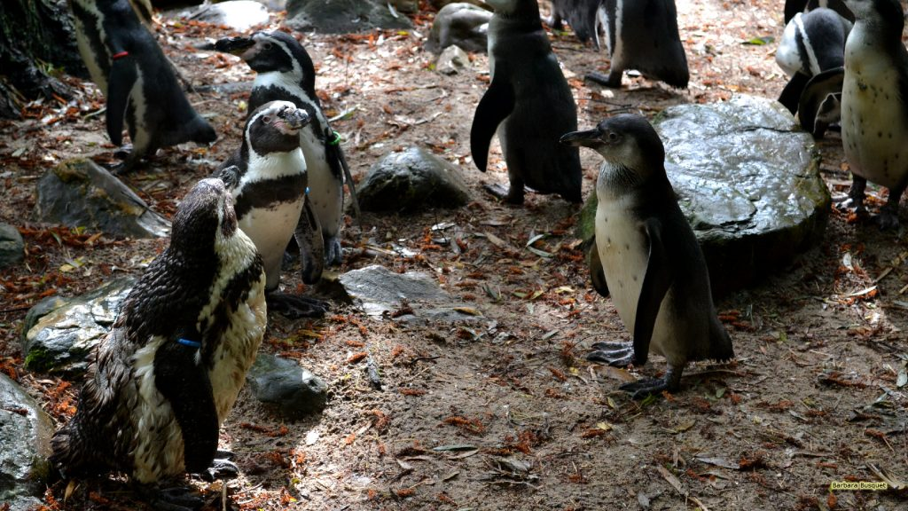 HD wallpaper Humboldt penguins