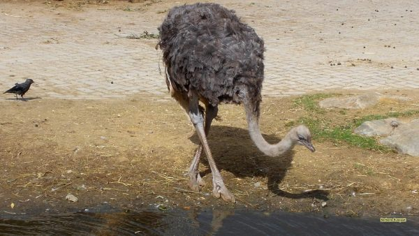 HD wallpaper with an ostrich near the water.
