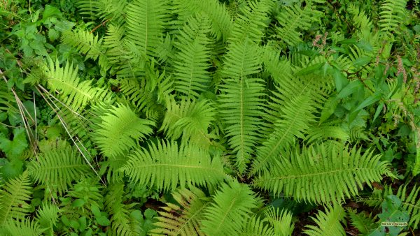 hd-wallpaper-with-ferns