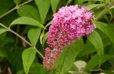 Butterfly bush wallpapers