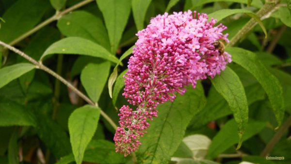 HD wallpaper with pink Buddleja davidii.