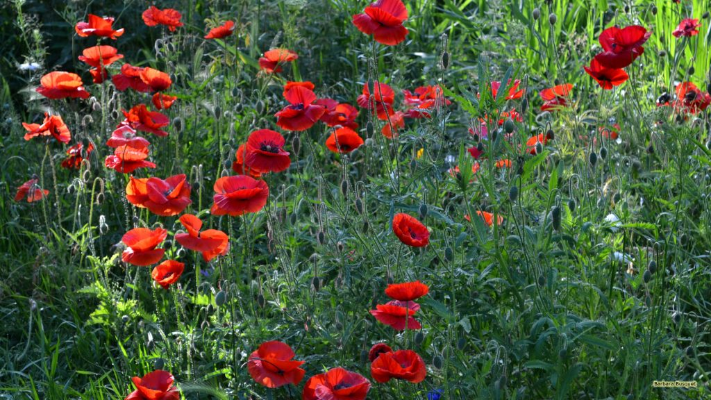 HD wallpaper with red field poppies