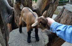 Petting young goat