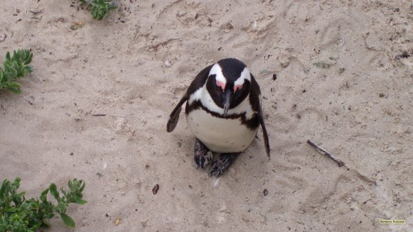 Single African penguin
