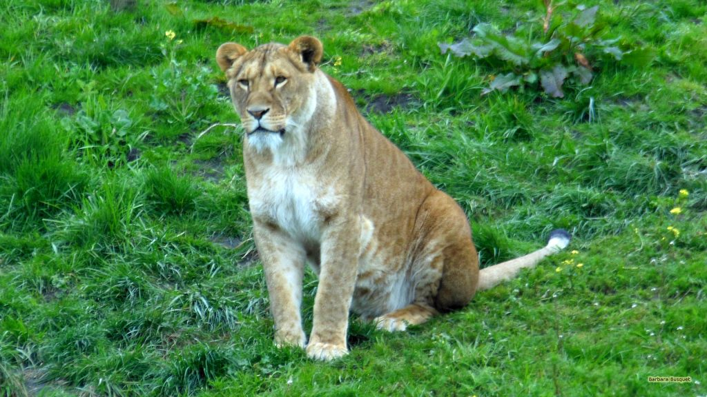 HD wallpaper with a lioness.