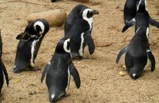 Black white penguins in zoo