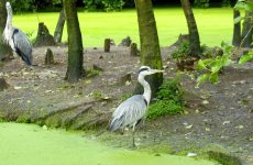 Grey heron under trees