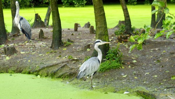 Heron wallpaper with grey heron.