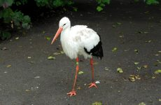 White Stork Wallpapers
