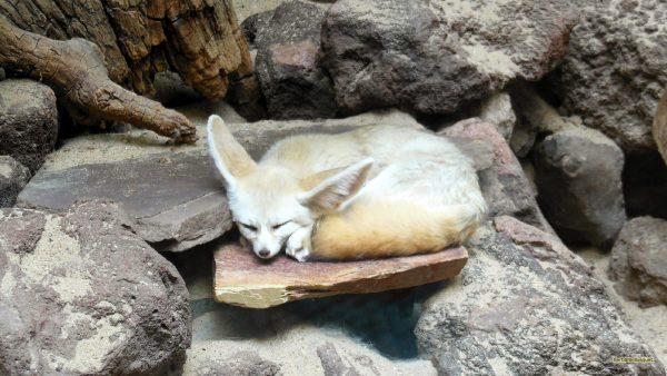 Animal wallpaper with a fennec fox sleeping.