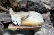 Fennec fox sleeping in zoo