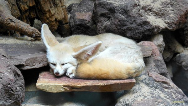 Close-up wallpaper with a fennec fox.