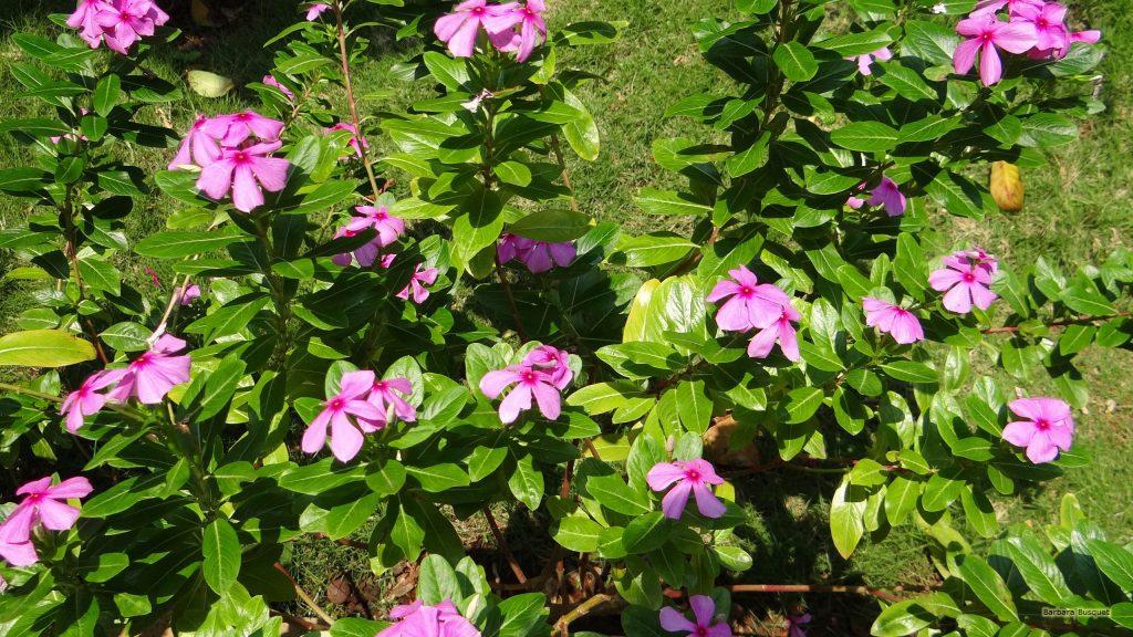 HD wallpaper catharanthus roseus