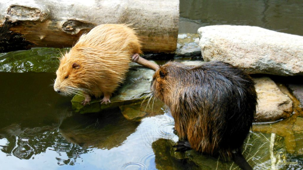 HD wallpaper with two coypus or riverrats.