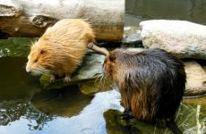 coypu or riverrat wallpapers
