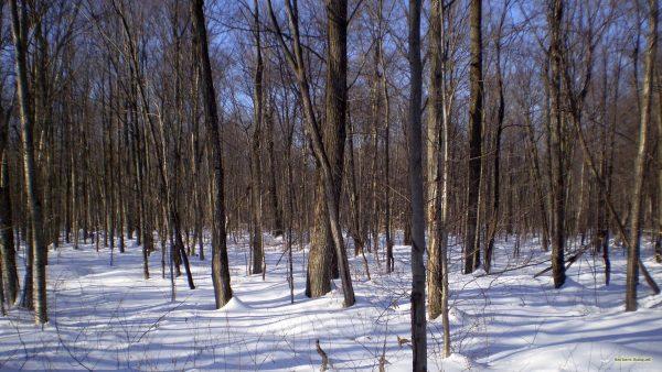 HD wallpaper forest in winter.