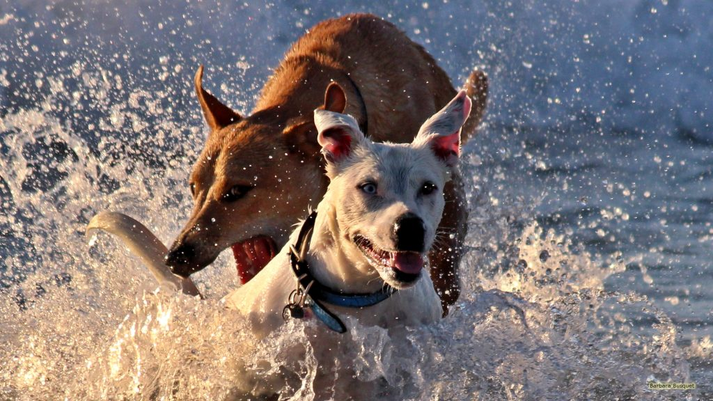 HD wallpaper with two dogs playing in the water.