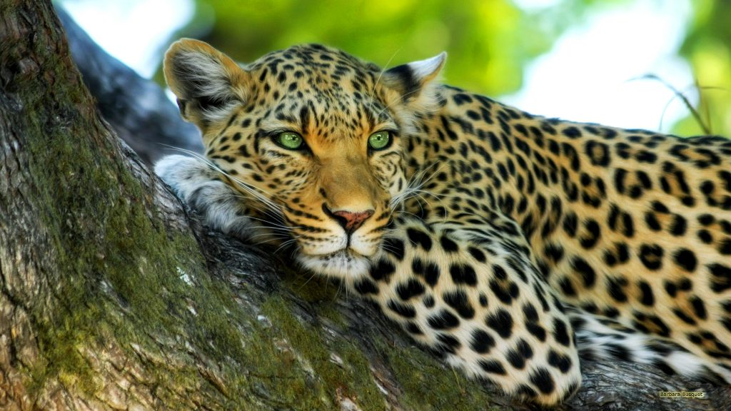 HD wallpaper with a leopard in a tree.