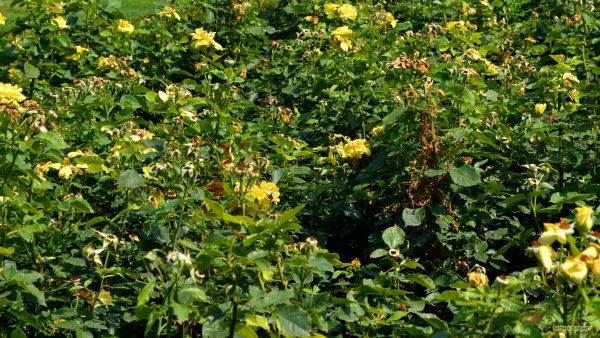 HD wallpaper yellow roses