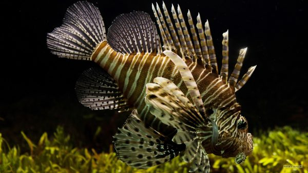 Ocean wallpaper with a lionfish.