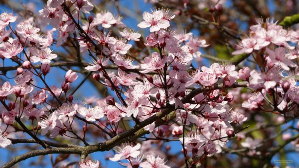 Spring wallpaper with pink blossom on a tree.
