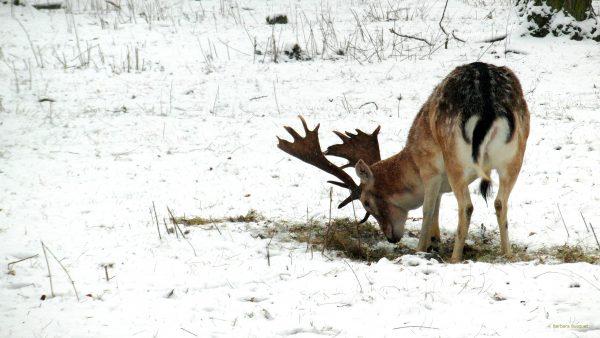 Winter wallpaper with a deer