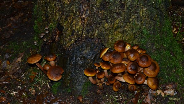 Autumn wallpaper mushrooms near tree