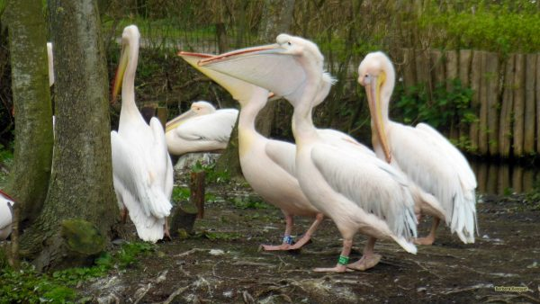 Eastern white Pelicans with large throat pouch