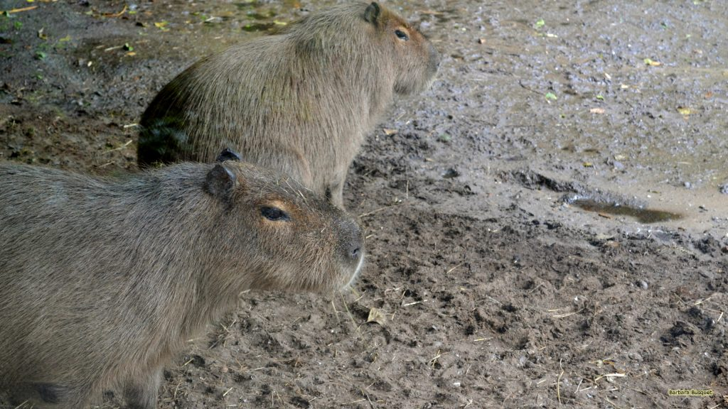 Two Capybaras wlaking in the sand
