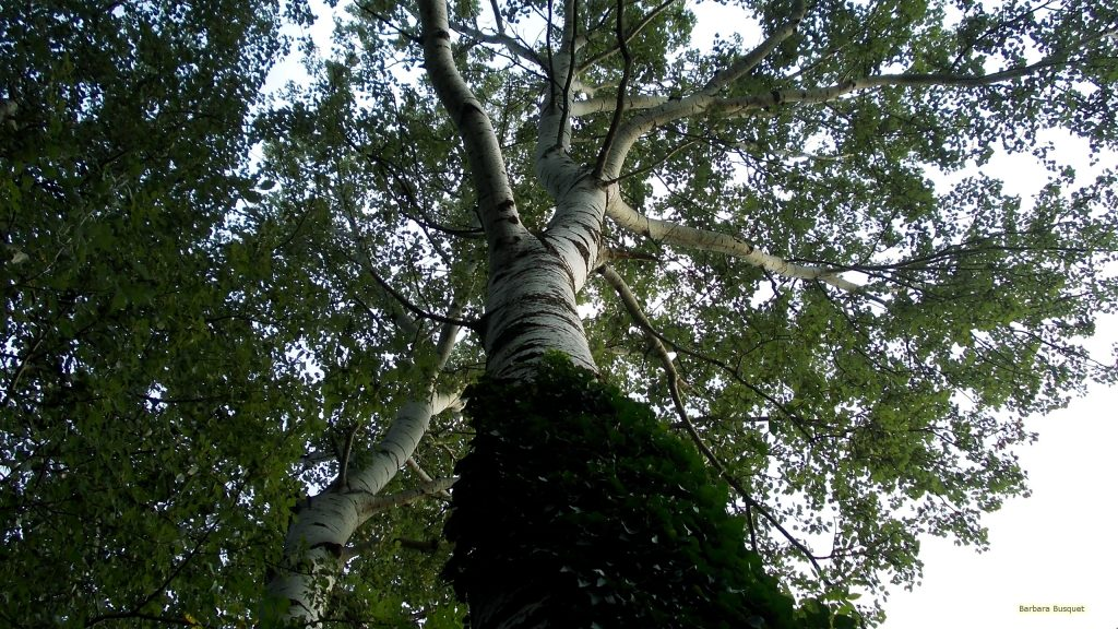 HD wallpaper birch tree in forest
