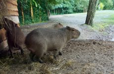 Capybaras wallpapers