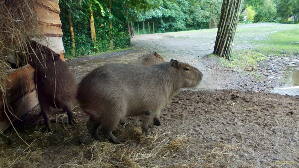 HD wallpaper capybaras
