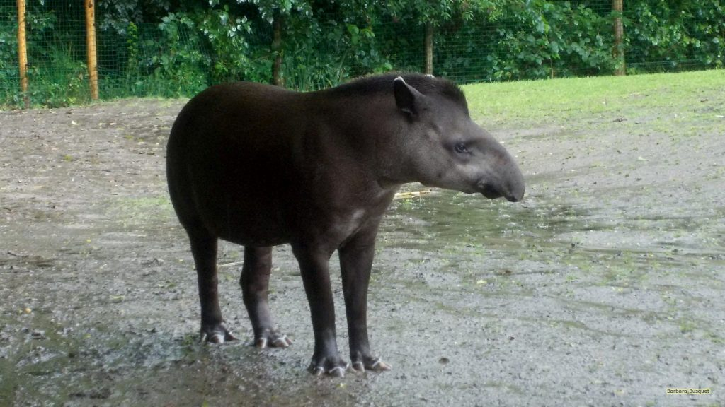HD wallpaper with a lowland tapir in the mud.