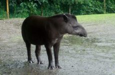 Lowland Tapir wallpapers