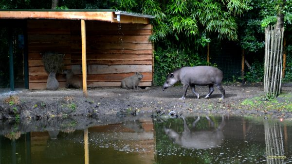 Photo with a lowland tapir and capybaras.