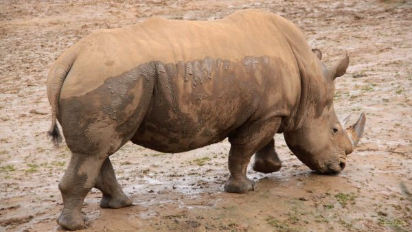 HD wallpaper rhino and mud.
