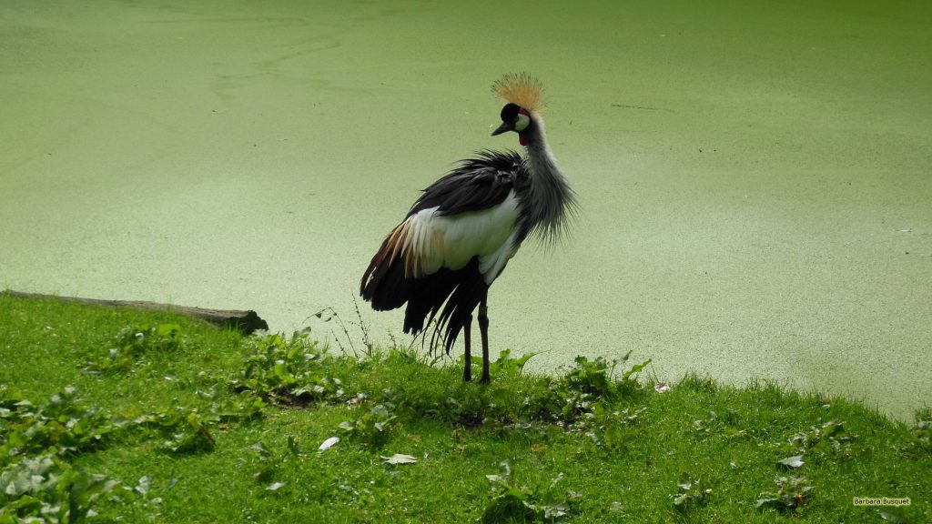 Grey crowned crane near the water with duckweed.
