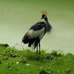 Grey crowned crane wallpapers