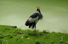 Grey crowned crane wallpapers