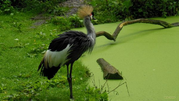 Grey crowned crane wallpaper