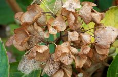 Hortensia flowers in winter