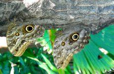Giant owl butterflies