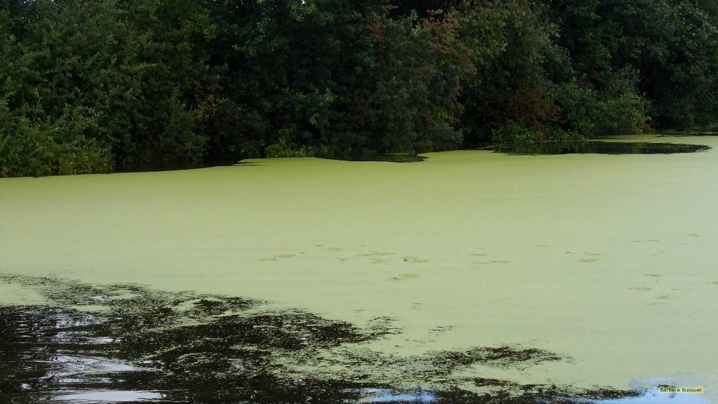 HD wallpaper lake with duckweed