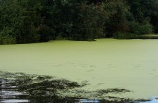 Lake with duckweed
