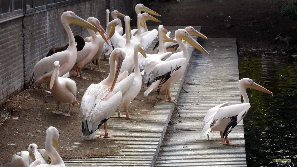 HD wallpaper many pelicans in zoo