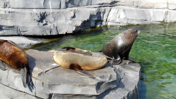 Sea lions on a rock in a zoo.