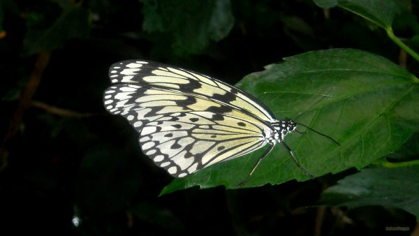 HD wallpaper white black butterfly on a leaf