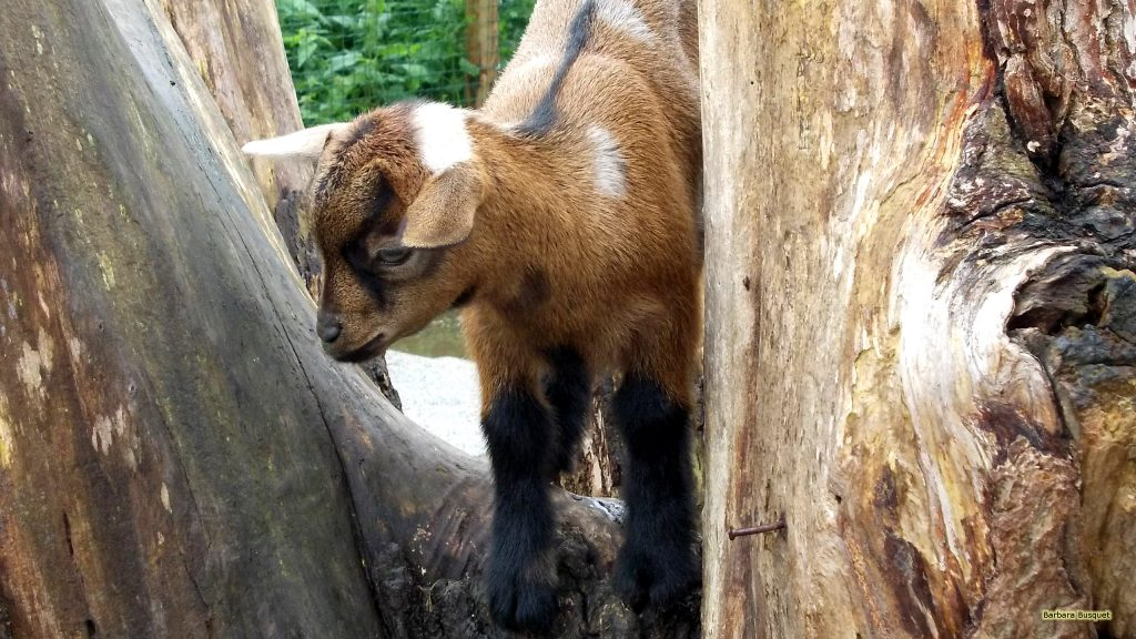 HD wallpaper young goat at tree trunk