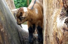 Young goat on tree trunk